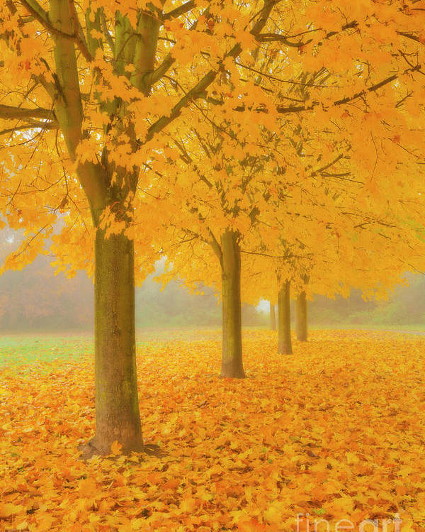 Sycamore Trees Poster featuring the photograph Misty Sycamore Tree Avenue In Autumn by Neale And Judith Clark