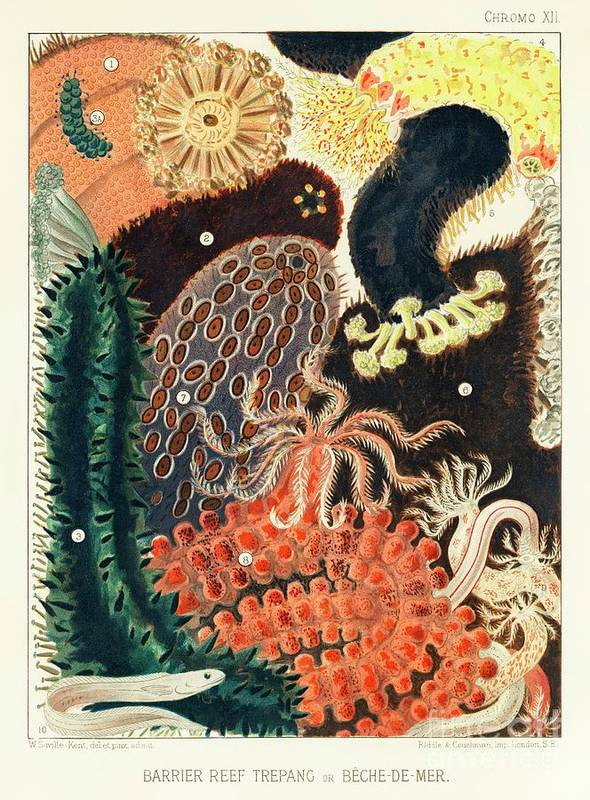 Barrier Reef Trepang or Beche-de-Mer from The Great Barrier Reef of Australia 1893 by William  by William Saville-Kent