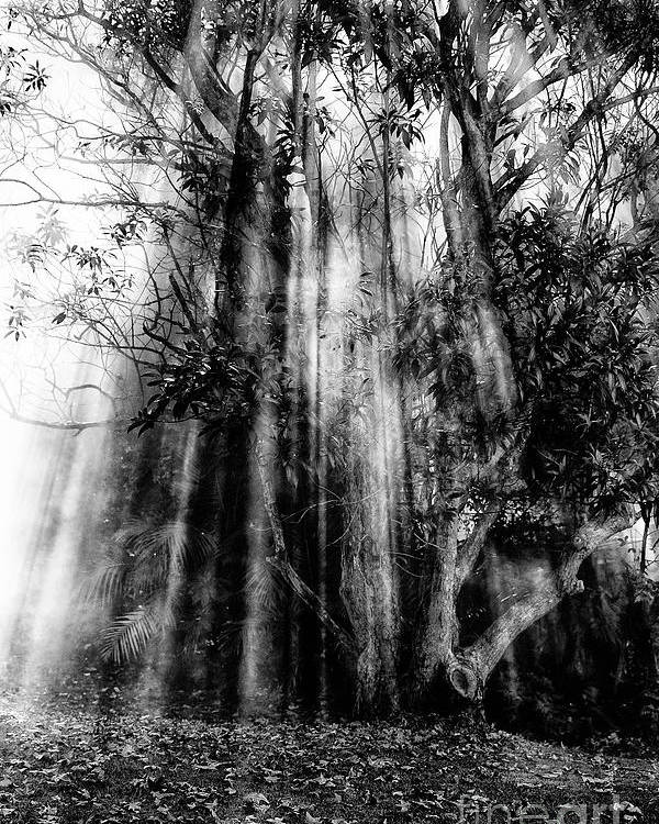 Fall Poster featuring the photograph Light beams through tree in monochrome by Sheila Smart Fine Art Photography
