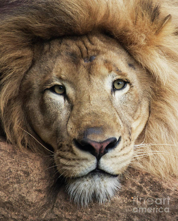 Lion Poster featuring the photograph Lion close up by Sheila Smart