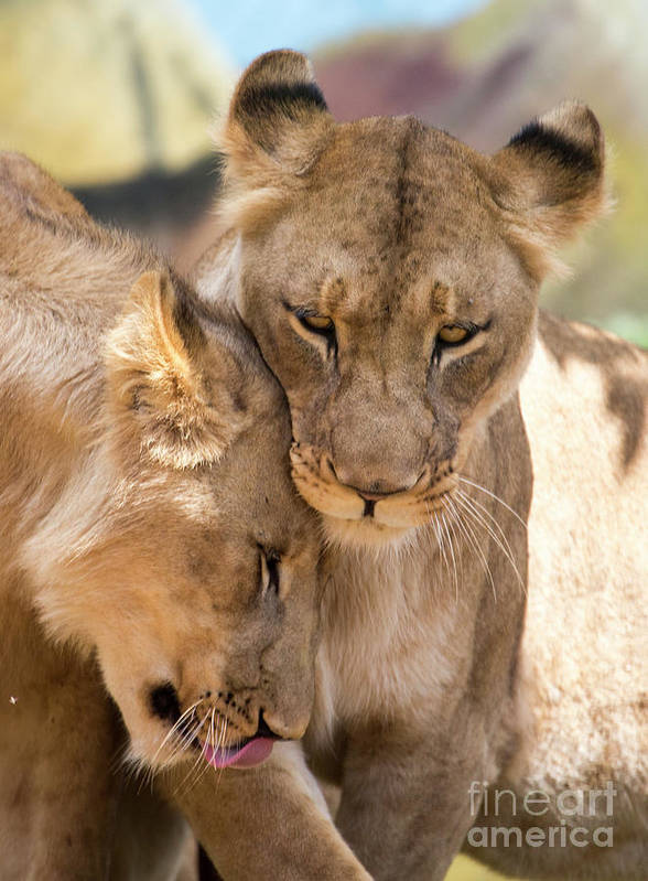 Lion Poster featuring the photograph Lioness with cub by Sheila Smart Fine Art Photography