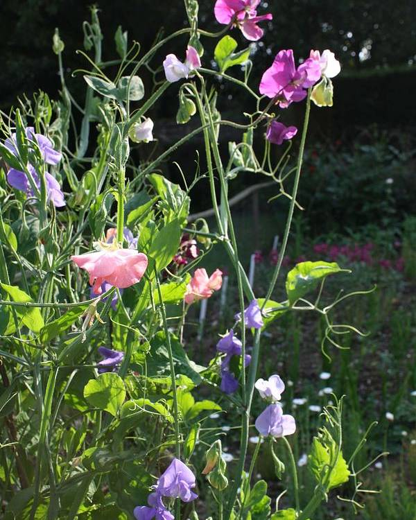Sweet Peas Poster featuring the photograph Sweet Pea Climbers by Vicki Cridland