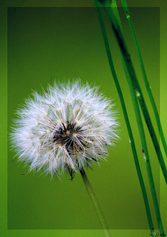 Dandelion Poster featuring the photograph Waiting for the Winds of Deliverance by Holly Kempe