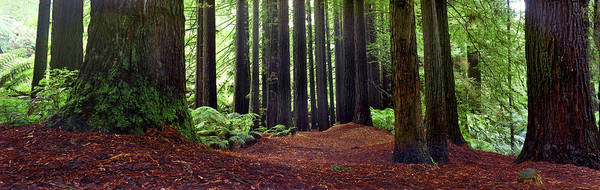 Redwood Trees Poster featuring the photograph Redwoods 1 by Wayne Bradbury Photography
