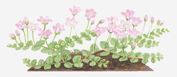 Horizontal Poster featuring the digital art Illustration Of Anagallis Tenella (bog Pimpernel), Leaves And Pink Flowers by Dorling Kindersley