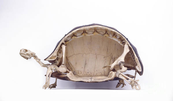 Anatomy Poster featuring the photograph Tortoise Skeleton, Cross-section by Colin Keates / Dorling Kindersley / Natural History Museum, London