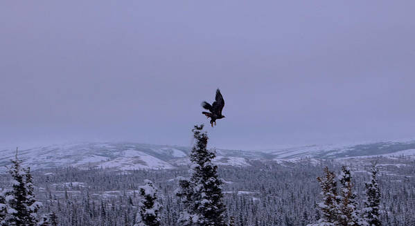 Alaska Poster featuring the photograph Golden Eagle Taking Flight by Jim and Kim Shivers