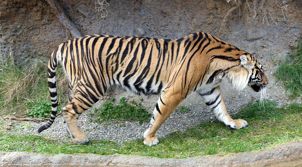 Point Defiance Poster featuring the photograph Sumatran Tiger - 0004 by S and S Photo