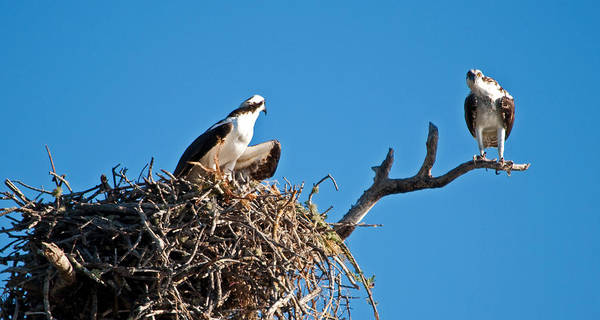Osprey Poster featuring the photograph You Lookin At Me by Christine Stonebridge