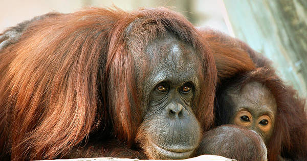 Orangutans Poster featuring the photograph Embrace by Donna Proctor