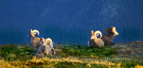 Bighorn Sheep Poster featuring the photograph Big Horns by Heather Coen