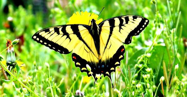 Swallowtail Poster featuring the photograph Eastern Tiger Swallowtail by Candice Trimble