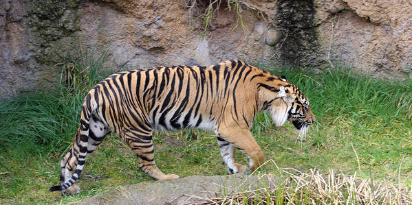 Point Defiance Poster featuring the photograph Sumatran Tiger - 0005 by S and S Photo
