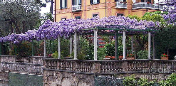 Wisteria Vine In Italy Poster By Jack Schultz