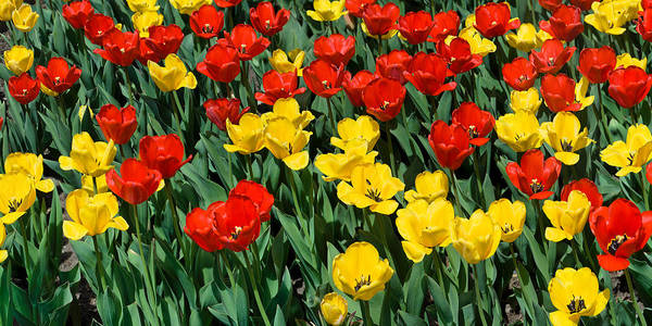 Red Poster featuring the photograph Red and Yellow Tulips Naperville Illinois by Michael Bessler