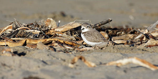 Animals Poster featuring the photograph Sandy Beak -- Snowy Plover On The Beach In Morro Bay, California by Darin Volpe