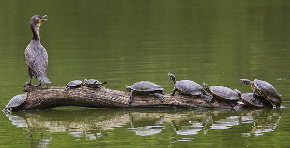 Doublecrestedcormorant Poster featuring the photograph The Turtle King by Michael Castellano