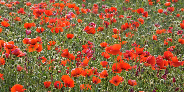Panoramic Poster featuring the photograph Wild Poppies, Val Dorcia, Pienza by David C Tomlinson