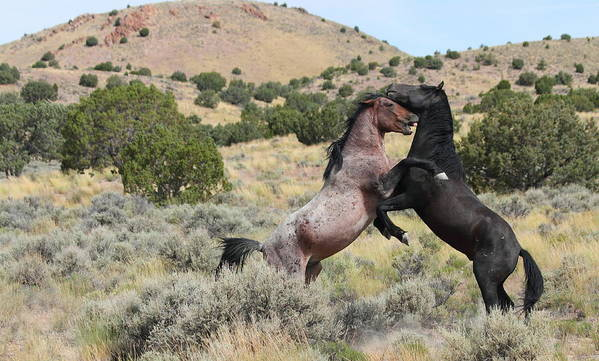 Horse Poster featuring the photograph Mustang Waltz by Gene Praag