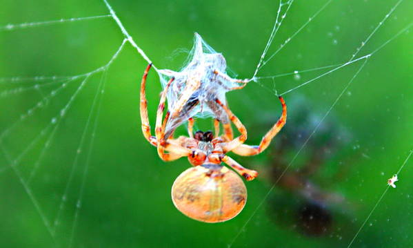 Orb Spider Poster featuring the photograph Weaving Orb Spider by Candice Trimble