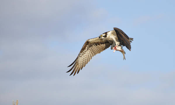 Osprey Poster featuring the photograph Osprey Lunch To Go I by Christine Stonebridge