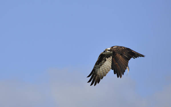 Osprey Poster featuring the photograph Osprey On The Move by Christine Stonebridge