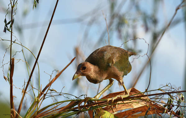 Adolescent Poster featuring the photograph Adolescent Purple Gallinule by Sally Sperry