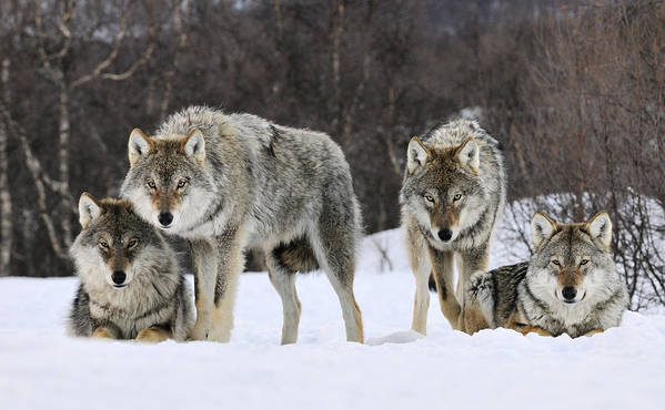 00436589 Poster featuring the photograph Gray Wolves Norway by Jasper Doest