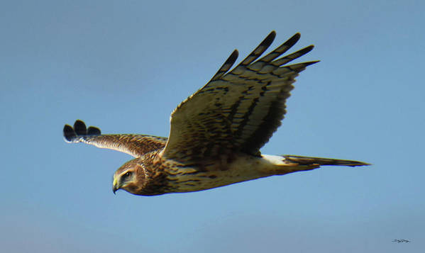 Northern Harrier Hawk Poster featuring the photograph Harrier in Flight by Sally Sperry
