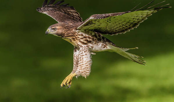 Juvenile Red-tailed Hawk Flying Poster featuring the photograph Juvenile Red-Tailed Hawk Flying by Morris Finkelstein