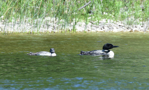 Loon Poster featuring the photograph Training Camp by Sally Sperry