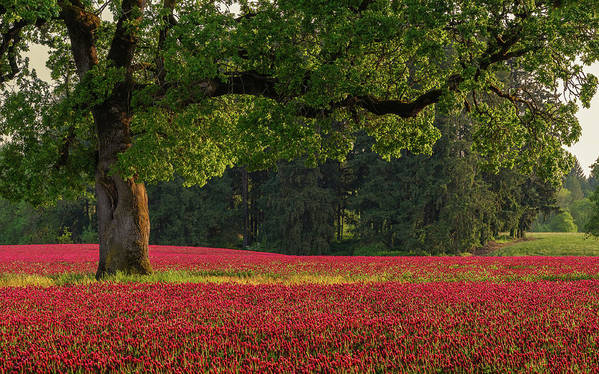 Scenics Poster featuring the photograph Oak Tree In Red Clover Field by Jason Harris