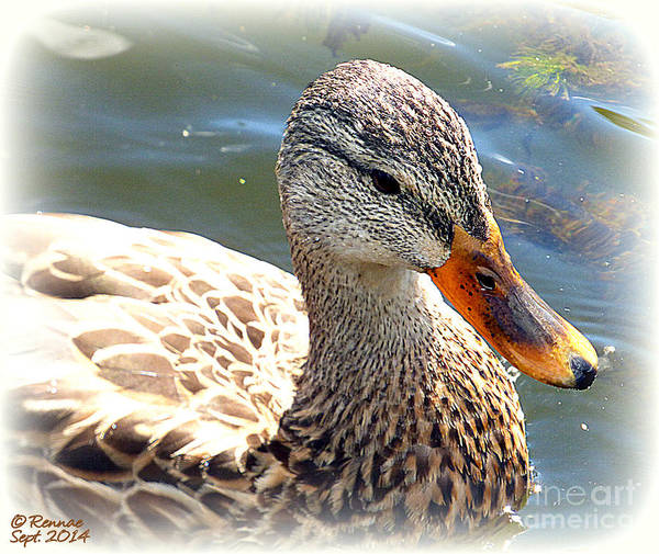 Duck Poster featuring the photograph Afternoon Swim by Rennae Christman