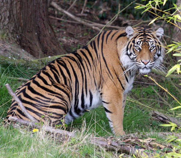 Point Defiance Poster featuring the photograph Sumatran Tiger - 0010 by S and S Photo