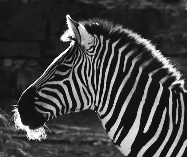Zebra Poster featuring the photograph Zebra in black and white by DiDi Higginbotham
