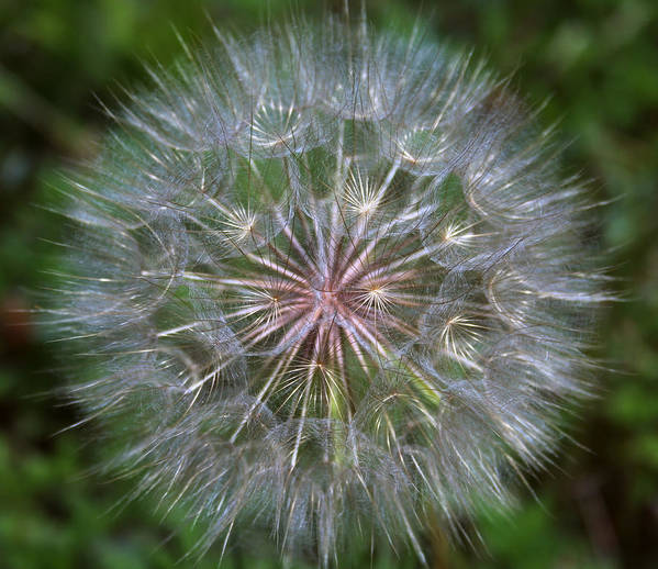 Dandelion Poster featuring the photograph Big Wish by Linda Sannuti