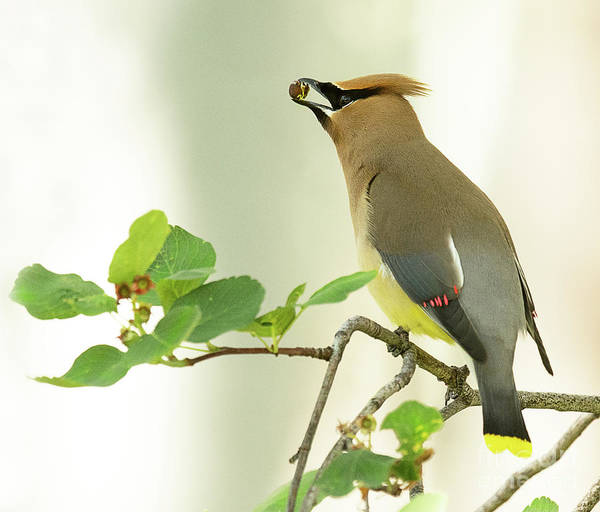 Bird Poster featuring the photograph Cedar Waxwing with Berry by Dennis Hammer