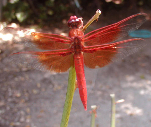 Dragonfly Poster featuring the photograph My Dragonfly by Gail Salitui