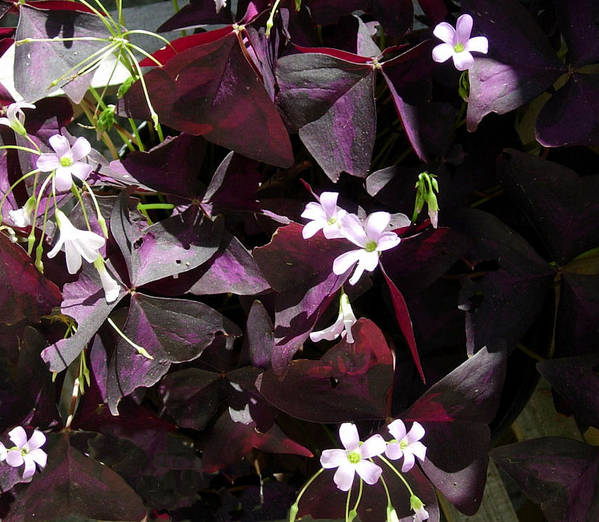 Purple Leaves With Tiny Pink Flowers Poster By Stephanie H Johnson
