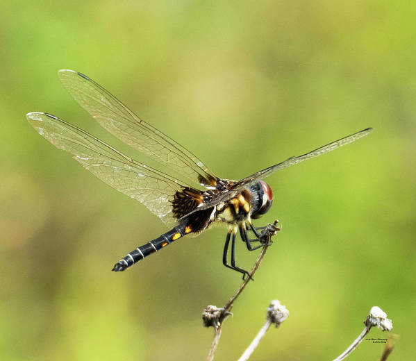Odonata Poster featuring the photograph Black Saddlebags Dragonfly by Sally Sperry
