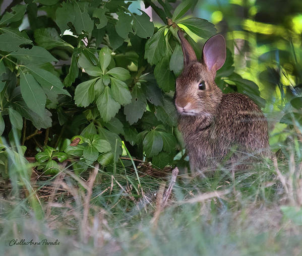 Poster featuring the photograph Baby Bunny by ChelleAnne Paradis