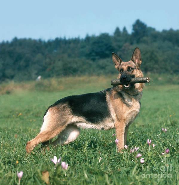 Animal Poster featuring the photograph German Shepherd by Hans Reinhard