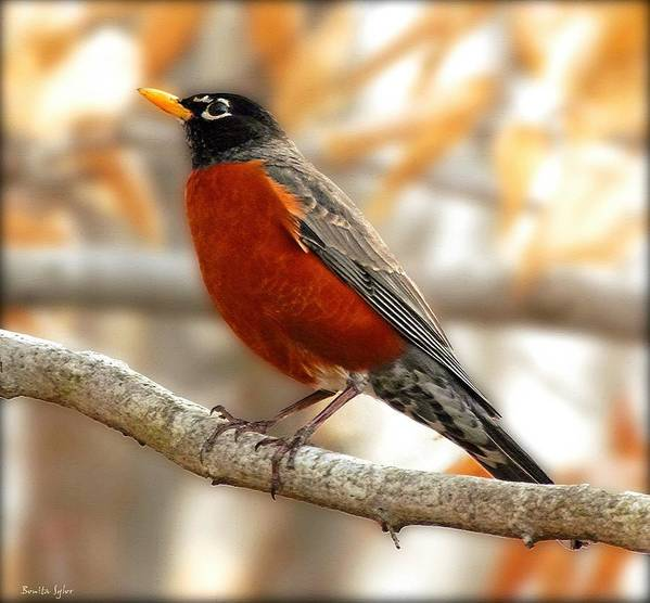 Animal Poster featuring the photograph An American Male Robin by Bonita S Sylor