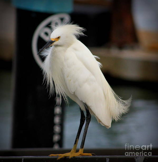Egret Poster featuring the photograph Bad Hair Day by Colleen Schueler