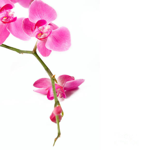 Beautiful Poster featuring the photograph Beautiful Orchids by Boon Mee