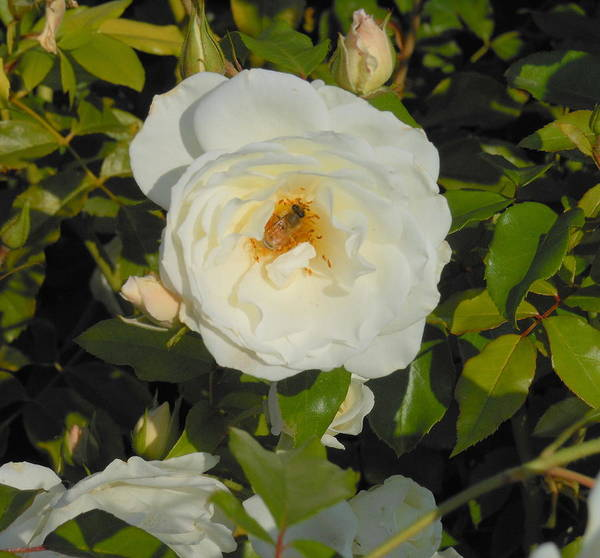 Rose Poster featuring the photograph Bee In A White Rose by Kay Gilley