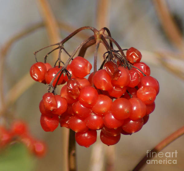 Autumn Poster featuring the photograph Berries by Carol Lynch