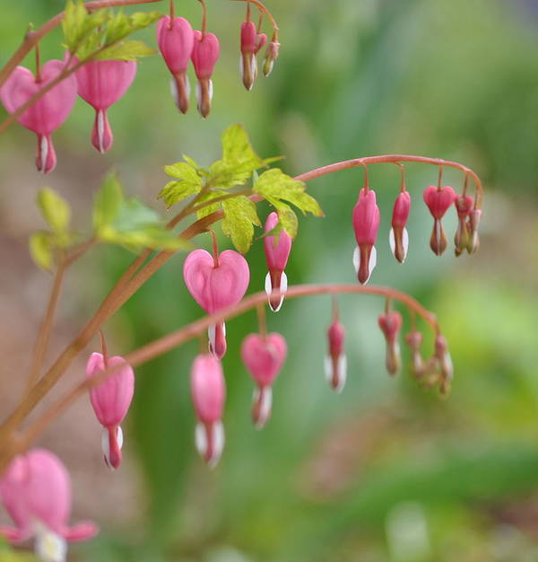 Flowers Poster featuring the photograph Bleeding Hearts by Kerry Hauser