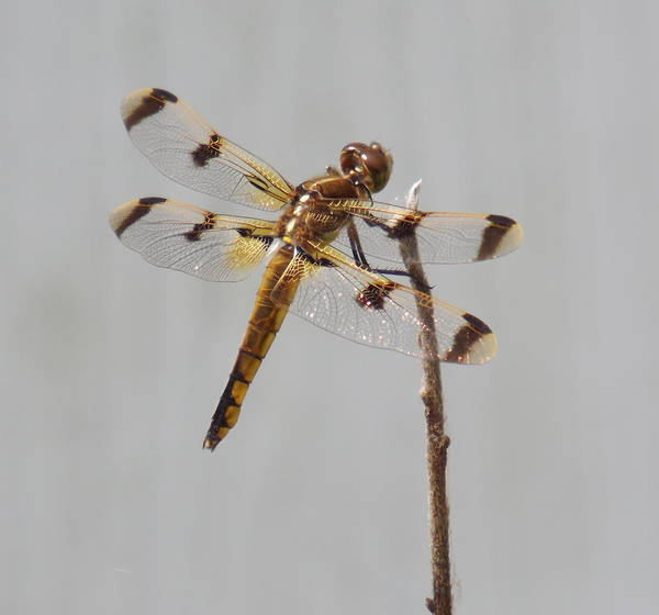 Dragonfly Poster featuring the photograph Brown And Yellow Dragonfly On A Twig by Teal Blackwell