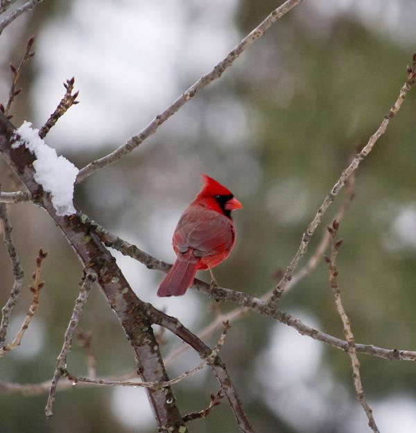 Cardinal Poster featuring the photograph Cardinal - A Winter Bird by Jatinkumar Thakkar